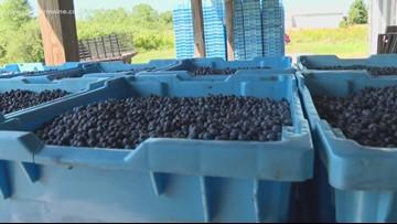 Senator: Trade hurting Maine blueberries, farmers need help