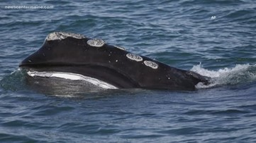 Maine whale protection proposal hits a snag