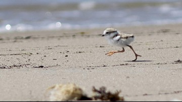 Piping plovers continue to bounce back in Maine