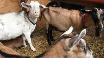 No kidding! Goats graze to curb invasive plants in Maine park