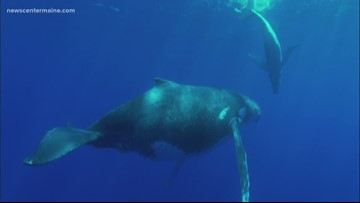 Maine lawmakers say whale protection must protect lobstering