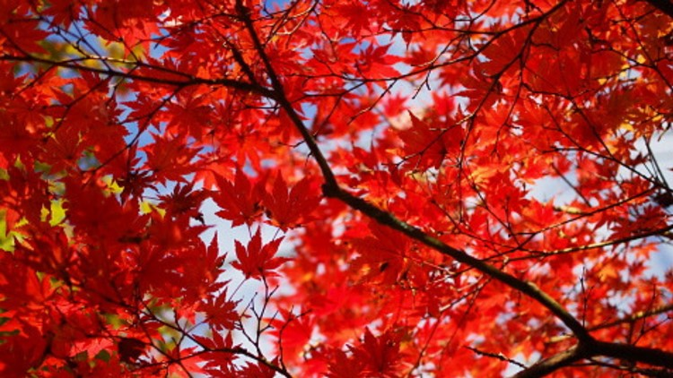 maine fall foliage interactive map shows when fall colors are