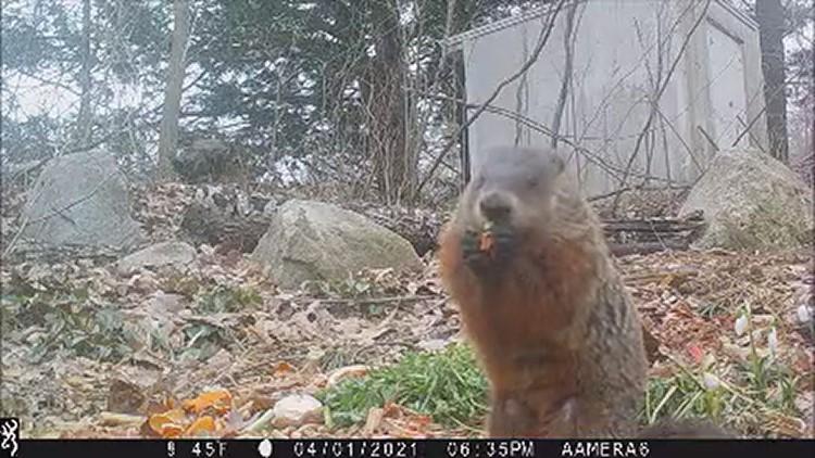 Woodchuck enjoys fresh food
