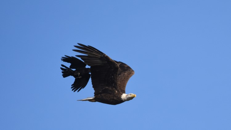 Crow chasing eagle in Cherryfield