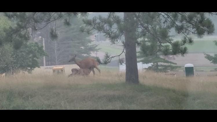 Deer in Augusta