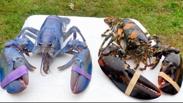 Rare calico and lavender lobsters being kept as pets by Maine family