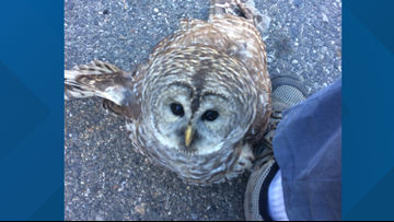 My hero, WHOO are you? Wells man saves injured owl after it collides with truck