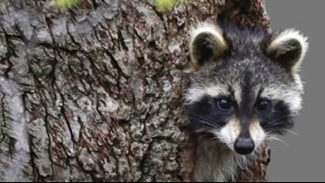 Police: Raccoons drunk on crab apples cause rabid animal scare in W.Va.