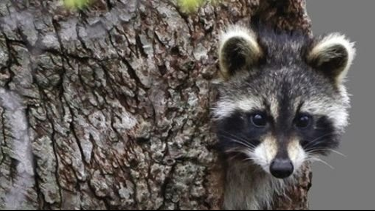 Police: Raccoons drunk on crab apples cause rabid animal scare in W.Va.