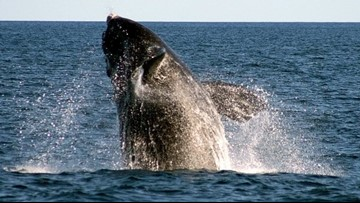 State sends right whale protection plan to feds