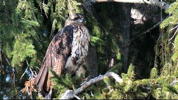 Group to erect bronze statue of rare great black hawk that died during Maine winter