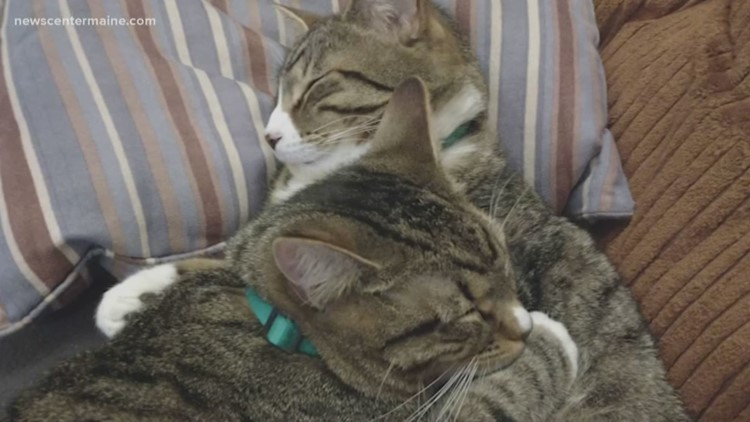 Clear the Shelters: Maine cats up for adoption