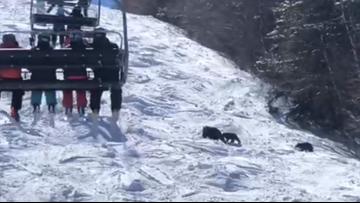 Family of bears hits the slopes at Sunday River for Bluebird Day