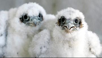 Peregrine falcons return to nest in Acadia, certain trails closed