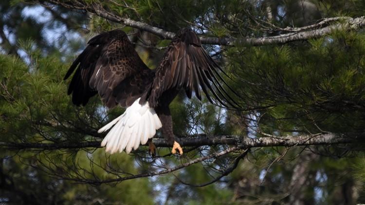 Eagle lands near crows nest