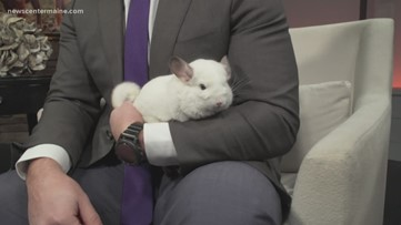 Fetch ME a Home: Chinchillas up for adoption