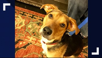 Fetch ME a Home: Woody, a spunky and loving beagle mix, is in need of a new home.