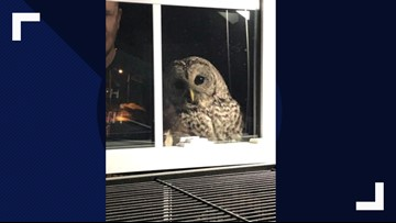Owl startles family by banging on window