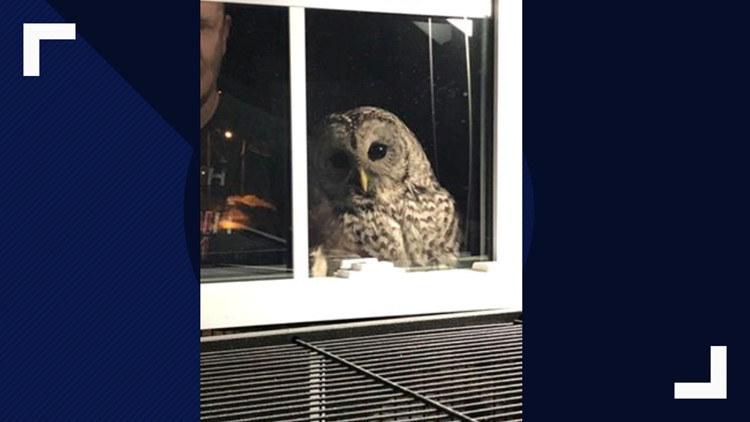 Owl peers in family's window (HORIZONTAL)