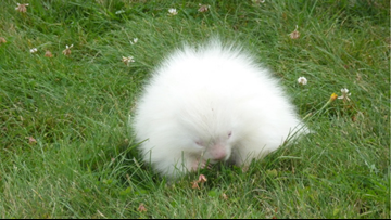 Rare albino porcupine spotted at Trolley Museum in Kennebunkport