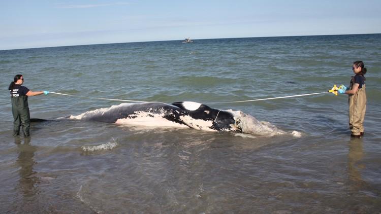 Minke whale washes up on Boston beach