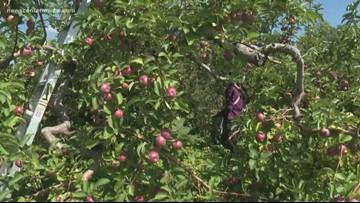 Tariffs hurting Maine apple growers