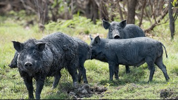 Maine police department urges people to report escaped pigs or feral swine