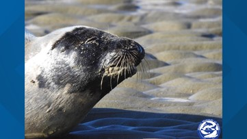 Maine seal seen coughing up sand after stressful interaction