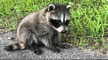 Augusta firefighters rescue baby raccoon