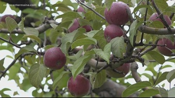 Peak apple season in Maine