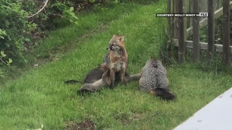 Officials urge caution when it comes to dealing with wildlife following several rabid fox attacks