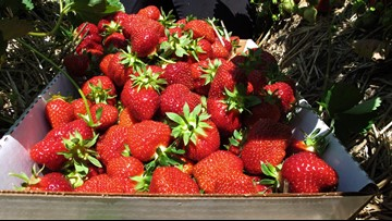 Cold spring delays strawberries but now it's a bumper crop