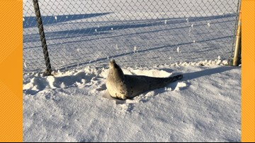 Seal found far from water near ball field in Harpswell