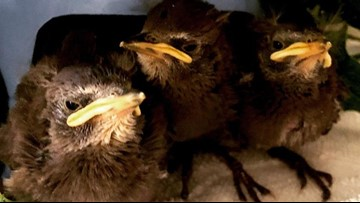 4 baby starlings in plastic bag rescued from Portland dumpster