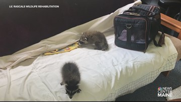 Rescued baby raccoons 'Luke' and 'Leia' at Lil' Rascals