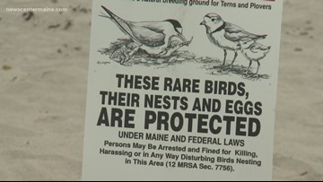 Piping plovers reach record numbers