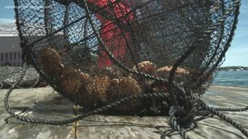 Money in scallop farming in Maine