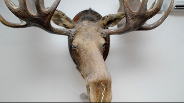 Town of Eliot auctions off 100-yr-old moose head