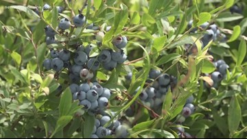 Maine blueberry bailout unlikely