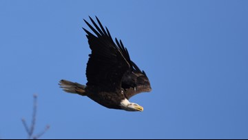 Crow appears to ride eagle in photo from Downeast