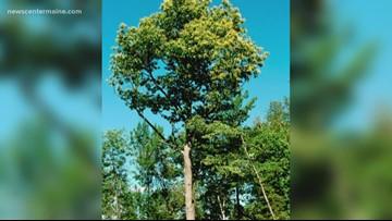 Restoring the American Chestnut Tree by speed breeding