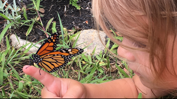It's the summer of monarch butterflies, but is it okay to raise them inside?
