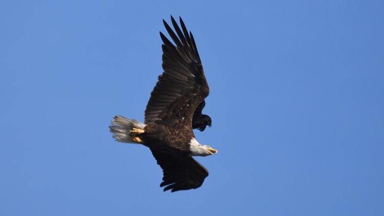 Crow attacks the eagle