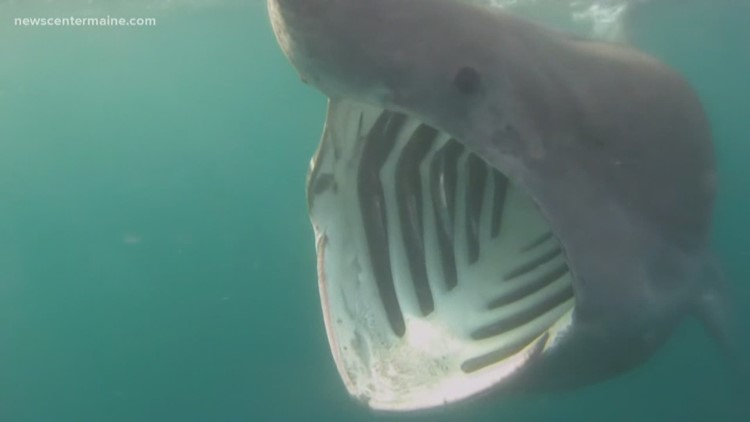 Basking shark startles people in York