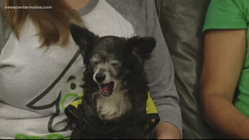 Fetch ME a Home: Pete, the chihuahua mix, available for adoption