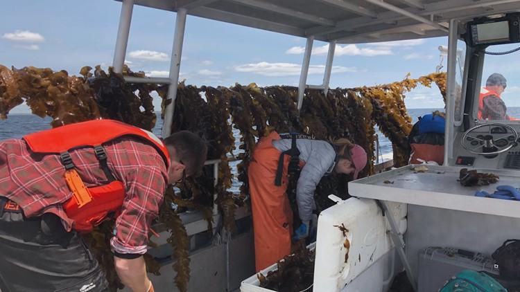 UNE kelp 3