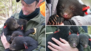 Game Wardens get bear hugs while on annual survey