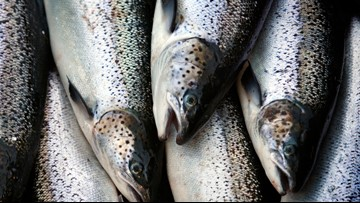 Atlantic salmon return to Maine river continues to rise