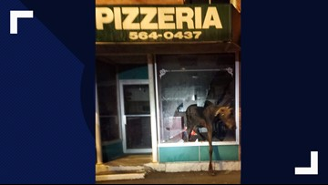 Moose breaks into pizza parlor