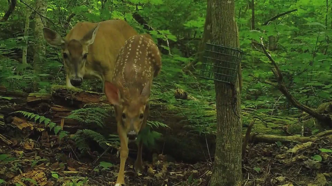 UMaine student offers tips for getting the best pictures and videos from trail cameras